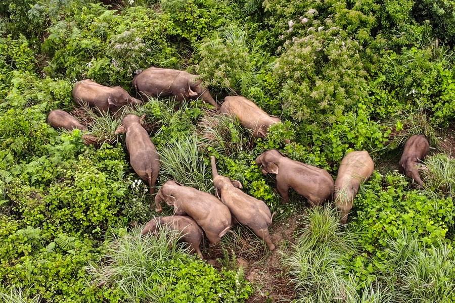 คืนถิ่น! โขลงช้างเอเชียป่าชื่อดัง กลับบ้านเดิมในโม่เจียง