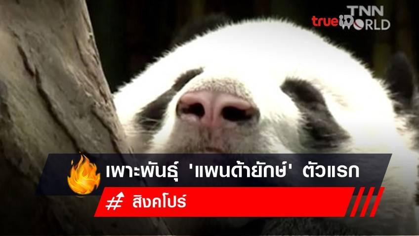 สิงคโปร์เพาะพันธุ์ 'แพนด้ายักษ์' ตัวแรกได้สำเร็จ ด้วยการผสมเทียมระหว่างแพนด้ายักษ์จากจีน 2 ตัว