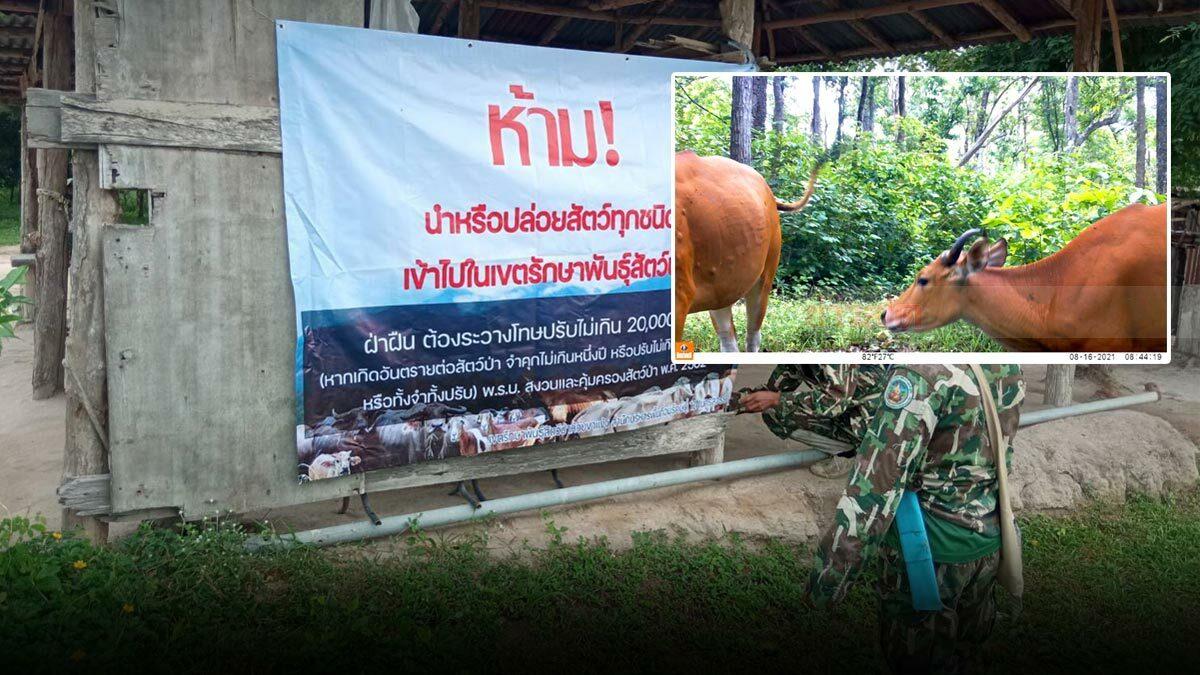 ด่วน! พบวัวแดง มีตุ่มคล้ายติดเชื้อ 'ลัมปี สกิน' ในขสป.ห้วยขาแข้ง