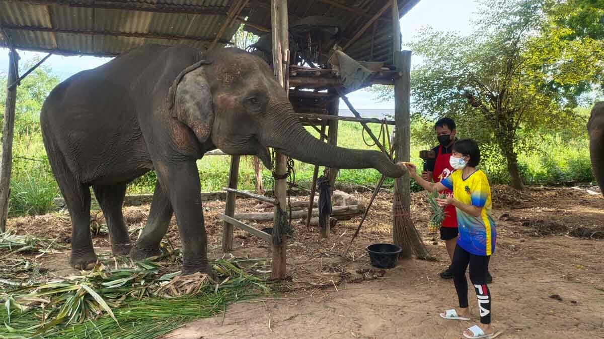 แคมป์ช้างชลบุรี วอนขอกล้วยให้ พังค้ำคูน ช้างชราวัย 60 ตาบอด หลังหยุดกิจการไร้รายได้