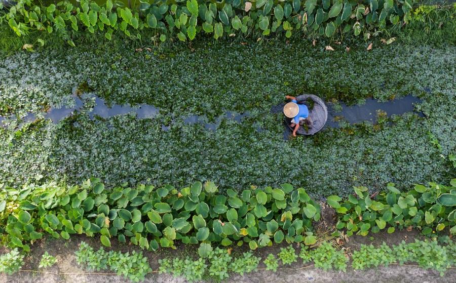 สุดวุ่น! เกษตรกรหูโจวเข้าสู่ฤดูเก็บเกี่ยว 'รากบัว'
