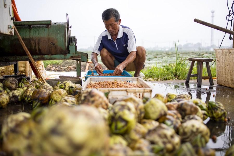 เกษตรกรเจียงซูลุยเก็บ 'เม็ดบัว' ส่งขายคึกคัก