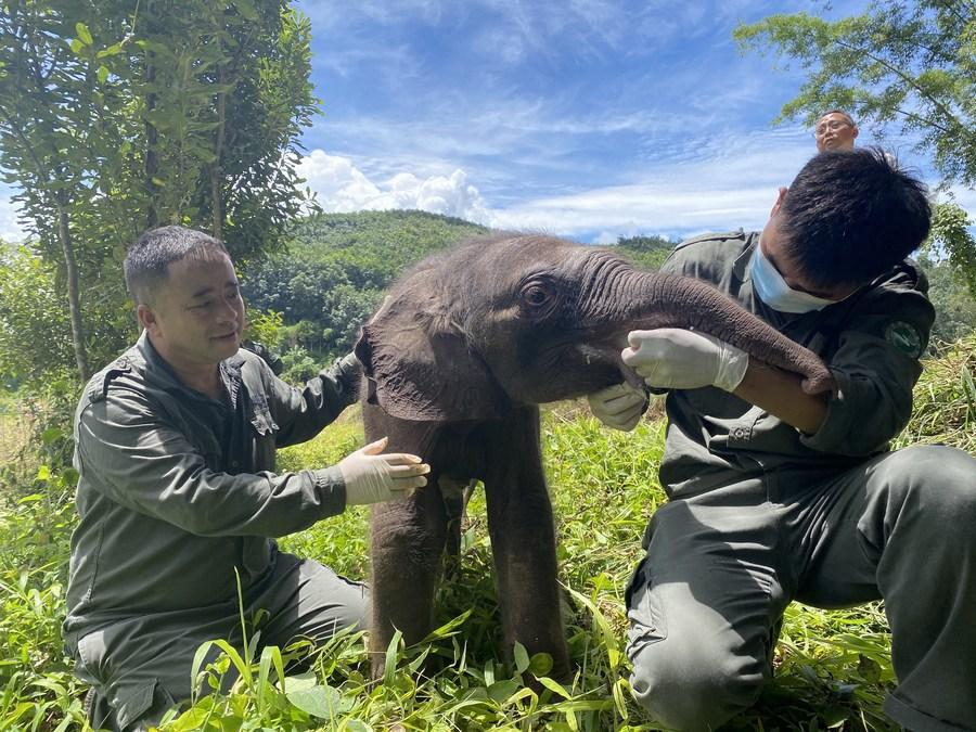 ยูนนานช่วยชีวิต 'ลูกช้างป่วย' ถูกโขลงทิ้งติดสวนกล้วย