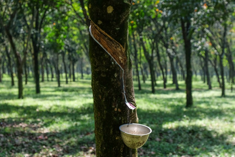 ส่อง 'สวนยางพารา' ในอินโดนีเซีย
