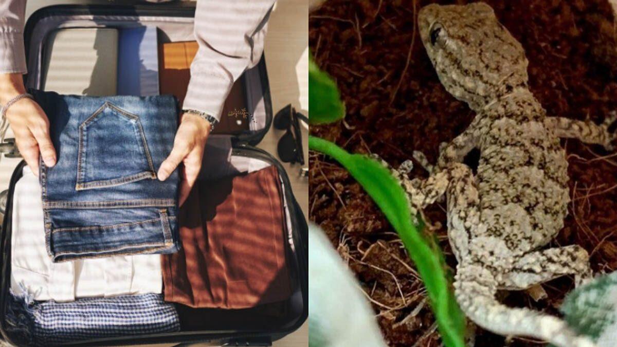 กรี๊ดลั่น! สาวพบตุ๊กแกตีเนียน ซ่อนในกระเป๋า หลังกลับจากเที่ยวตปท.นับ 4000 กม.