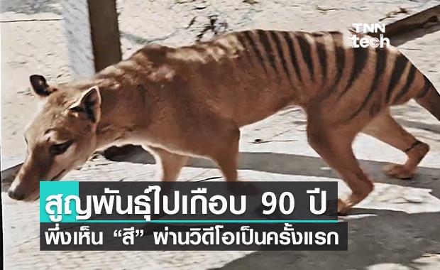 """90 ปีผ่านไป! ในที่สุดก็ได้มีวิดีโอที่เห็นสีของ """"เสือทัสมาเนีย"""" ชัด ๆ เป็นครั้งแรก!"""