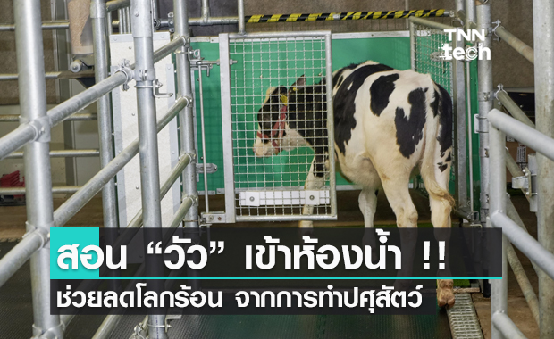 สอนวัวเข้าห้องน้ำ !! ช่วยลดภาวะโลกร้อนจากการทำปศุสัตว์