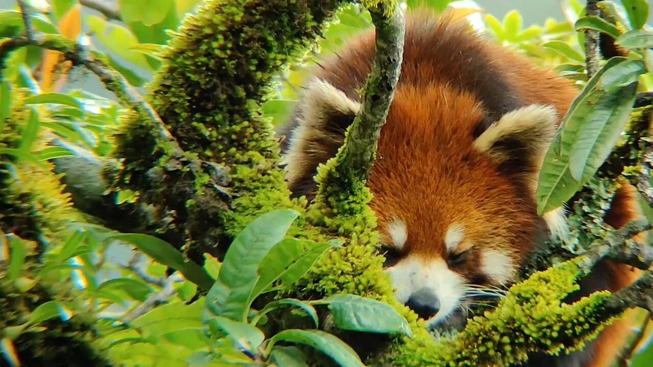 น่ารัก! ยูนนานถ่าย 'แพนด้าแดง' นอนหลับในระยะประชิด