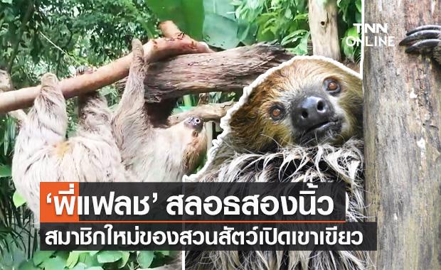 """สวนสัตว์เปิดเขาเขียว เปิดตัวดาวเด่น """"พี่แฟลช"""" สลอธสองนิ้ว สัตว์จอมเฉื่อย"""