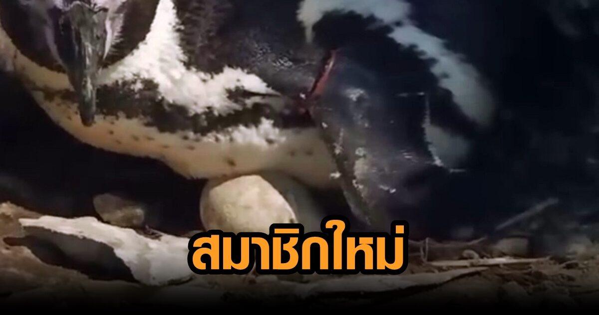 สวนสัตว์สงขลา ต้อนรับสมาชิกใหม่ 'ไฟเซอร์' แม่นกเพนกวิน ออกไข่ 2 ฟอง