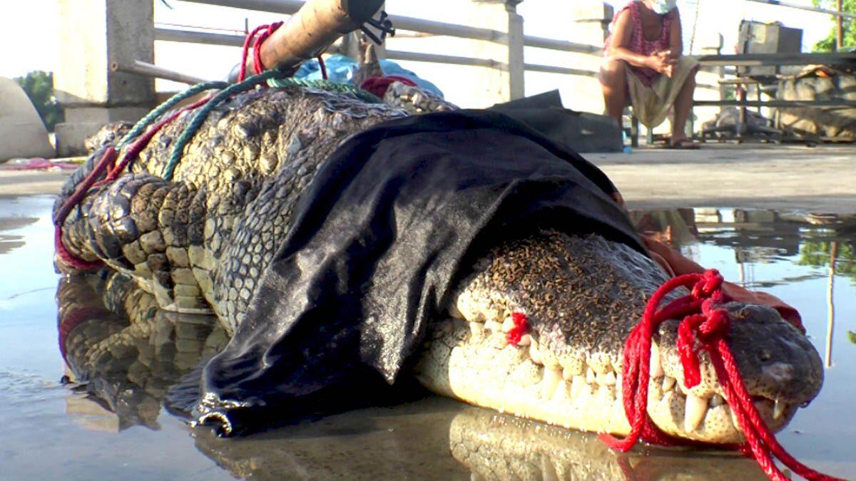 จระเข้ชุม ชาวบ้านออกหาปลาตอนกลางคืน ส่องไฟเห็นตาสีแดง ลุยจับยาวเกือบ 3 เมตร