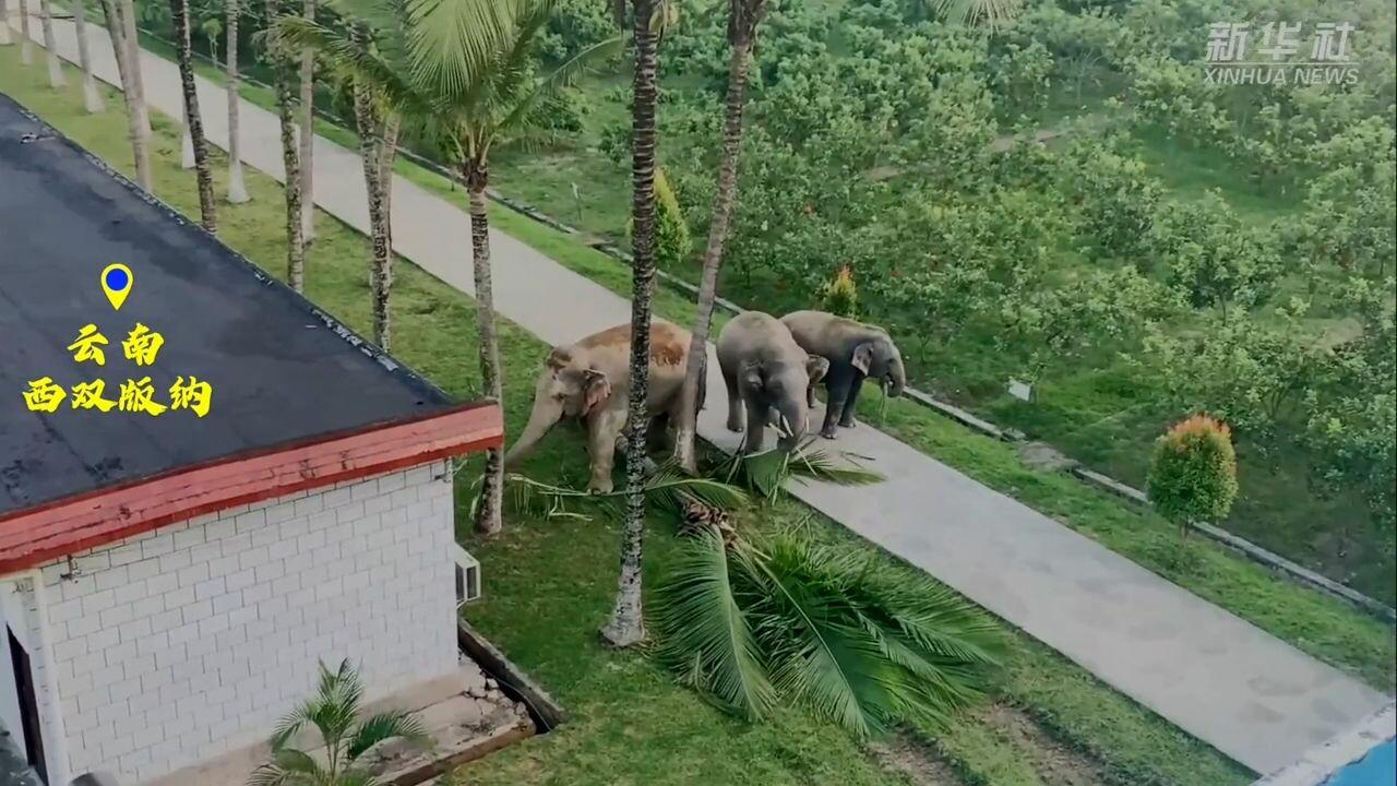 แก๊งช้าง 3 ตัว ออกเที่ยวชิม-ชนต้นไม้ล้ม ก่อนพากันกลับบ้าน
