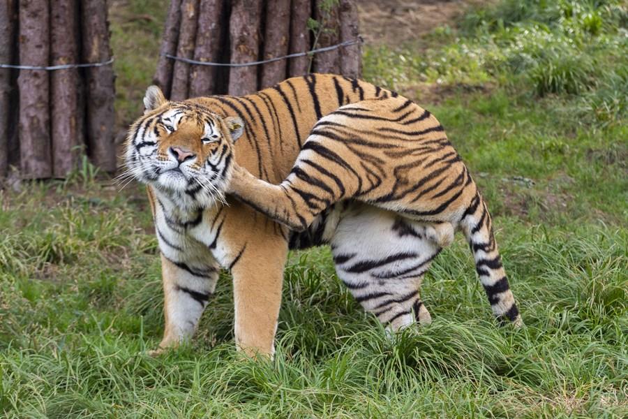 ส่อง 'เสือง่วง' ในสวนเสือไซบีเรียที่เฮยหลงเจียง