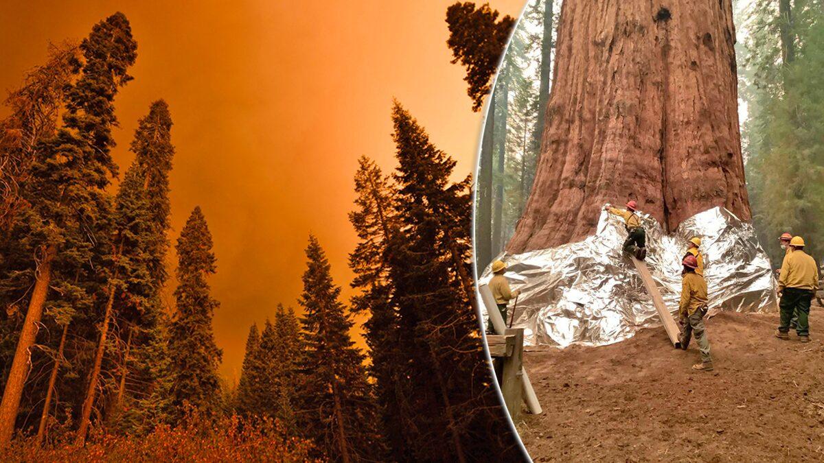 """เร่งดับไฟป่า! ปกป้อง """"นายพลเชอร์แมน"""" สนยักษ์สูง 83 เมตร-ไม้ใหญ่ที่สุดในโลก"""