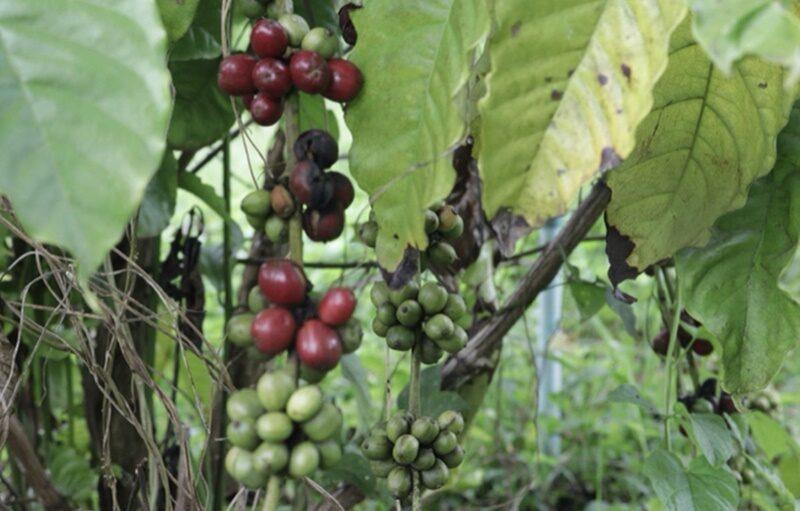 """เตรียมดัน GI """"กาแฟโรบัสต้า"""" สินค้า Future Crop สร้างรายได้เกษตรกร จ.ศรีสะเกษ"""