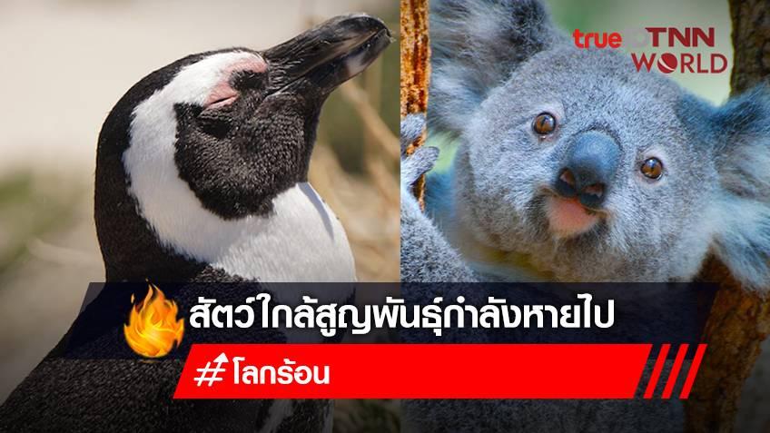 สัตว์ใกล้สูญพันธุ์กำลังหายไป เพนกวินหายาก-หมีโคอาลาล้มตาย เหตุเพราะโลกร้อนแผลงฤทธิ์?