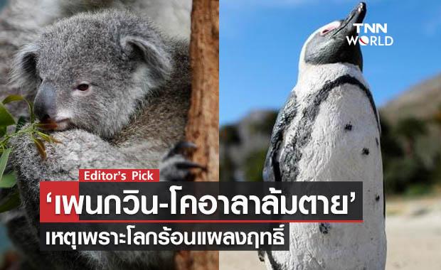 เพนกวิน-โคอาลาล้มตาย เหตุเพราะโลกร้อนแผลงฤทธิ์