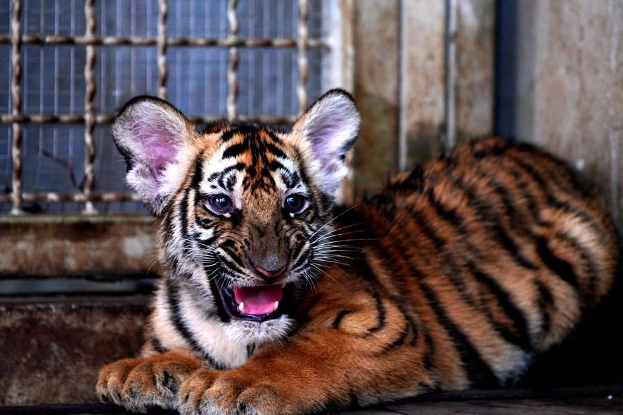 สวนสัตว์เซี่ยงไฮ้ ฝังชิป-ฉีดวัคซีน 'ลูกเสือโคร่งจีนใต้'