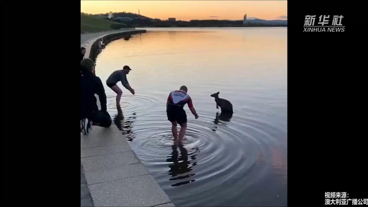 ชื่นชม! ชายออสเตรเลียช่วยชีวิต 'จิงโจ้' ยืนสั่นกลางทะเลสาบ