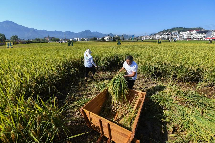 โครงการ 'ธัญพืชคุณภาพสูง' หนุนพัฒนาการเกษตรในจีน