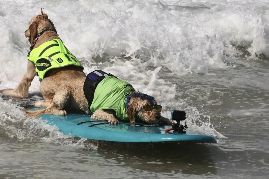 น่ารัก! แคลิฟอร์เนียจัดแข่งโต้คลื่นน้องหมา