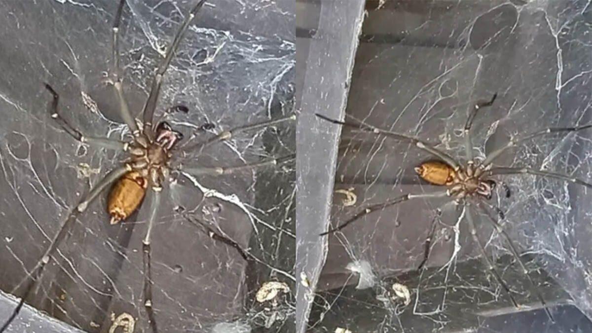 สุดสะพรึง! ชายบริติชพบแมงมุมยักษ์ 8 นิ้ว ผู้เชี่ยวชาญเตือน-อันตรายถึงขั้นเสียชีวิต