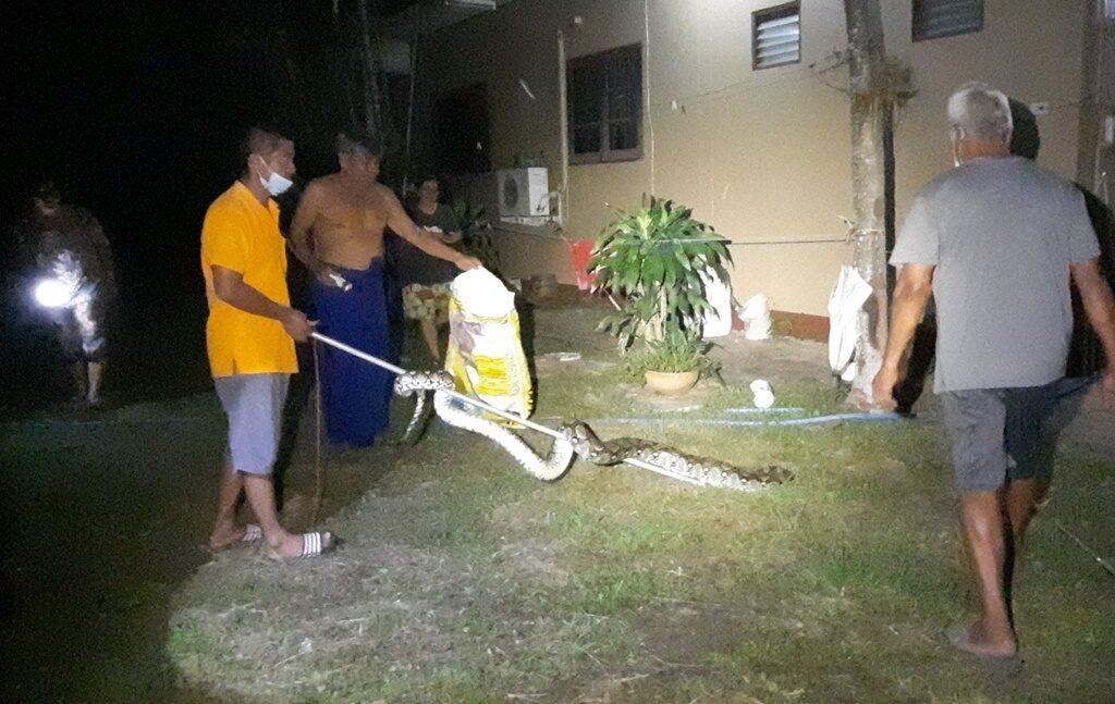 ประจวบฯ งูเหลือมยาวใหญ่ กินไก่ชนตัวโปรด เรียกกู้ภัยช่วยจับ ชาวบ้านเชื่อให้โชคแอบส่องเลขเด็ด