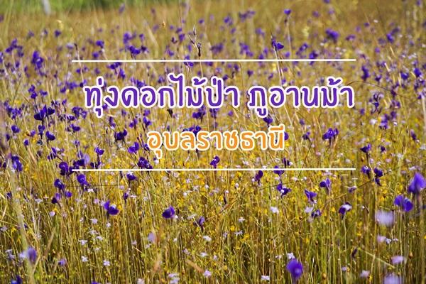 ทุ่งดอกไม้ภูอานม้า อุบลราชธานี บานสะพรั่งตระการตา ท้าลมหนาว
