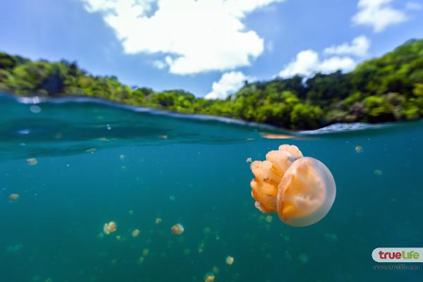 jellyfish-lake-palau-5