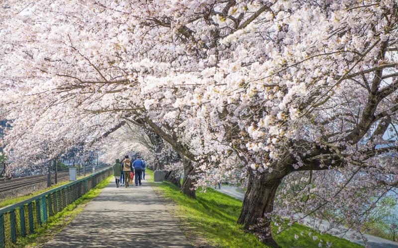 (Update 19 มีนาคม) พยากรณ์ ซากุระบาน 2018 ประเทศญี่ปุ่น ที่คุณต้องห้ามพลาด