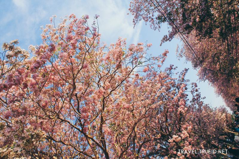Cherry blossoms Kamphaeng Saen