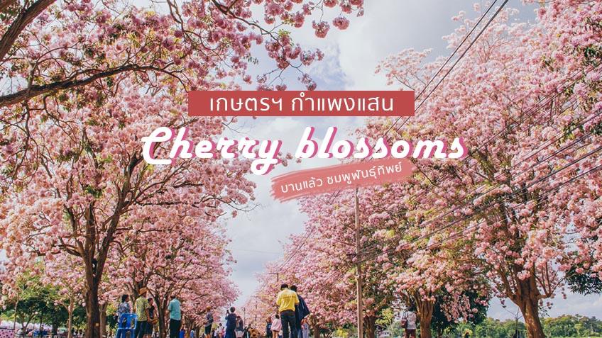 Cherry blossoms Kamphaeng Saen tt