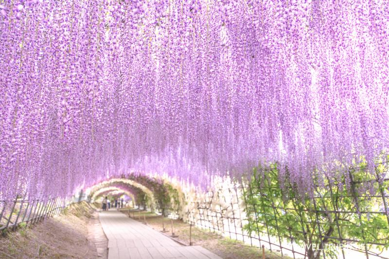 Wisteria Fukuoka