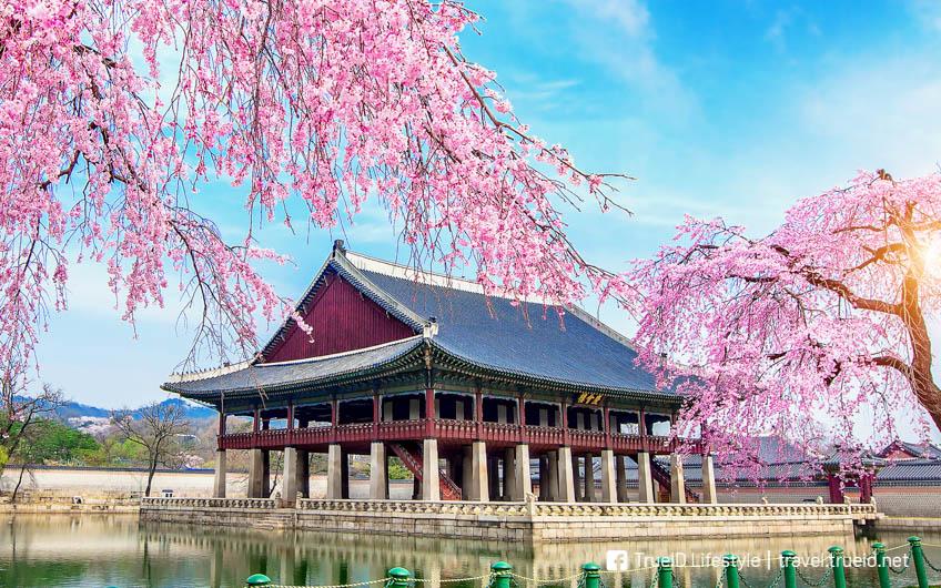 ชมซากุระบาน เกาหลี