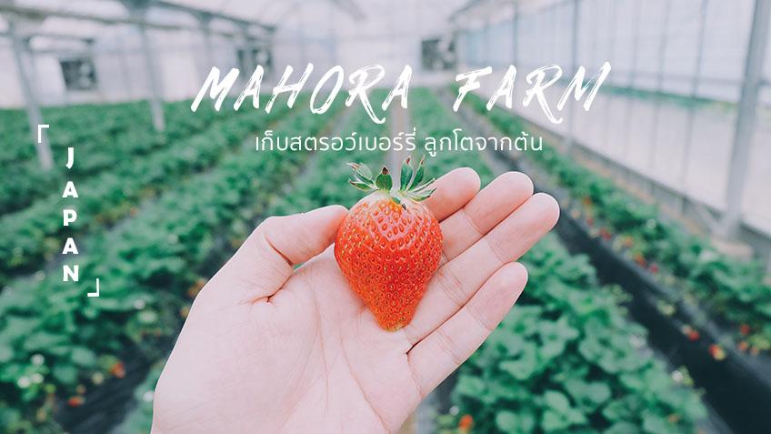 เที่ยวญี่ปุ่น Mahora Farm เก็บสตรอว์เบอร์รี่ ลูกโต เด็ดจากต้น กินสดๆ หวานฉ่ำๆ ที โอคายาม่า อาณาจักรผลไม้
