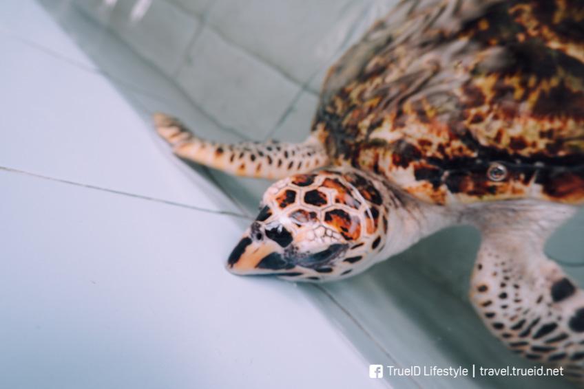 ศูนย์อนุรักษ์พันธุ์เต่าทะเล เที่ยวสัตหีบ