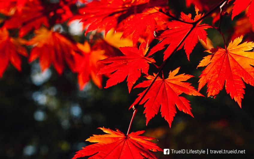 เที่ยวฮอกไกโด ช่วงใบไม้เปลี่ยนสี