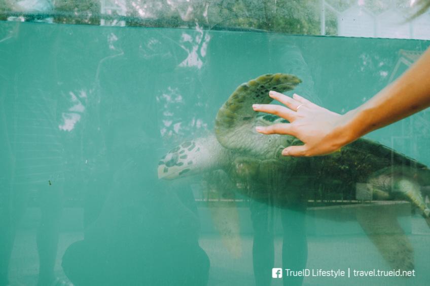 เที่ยวสัตหีบ งบน้อย ศูนย์เพาะพันธุ์เต่าทะเล