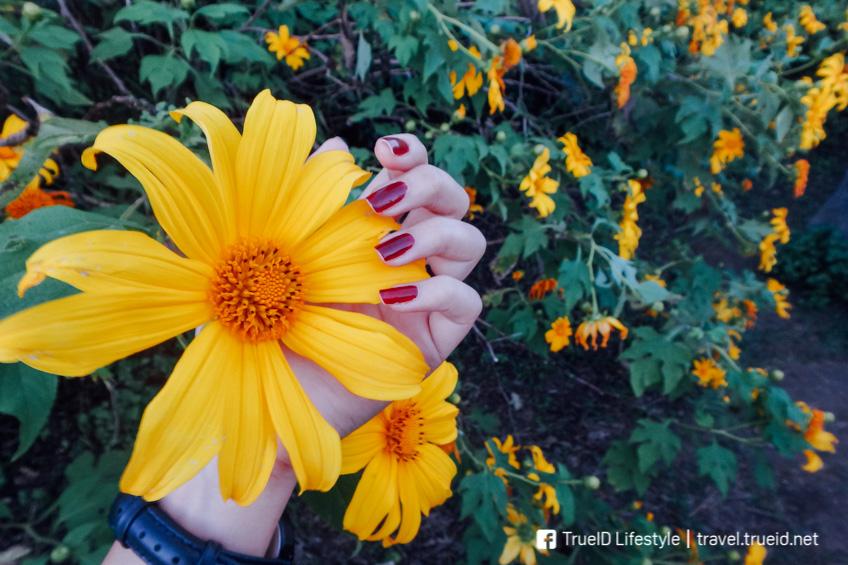 ทุ่งดอกบัวตอง ทุ่งดอกไม้ หน้าหนาว