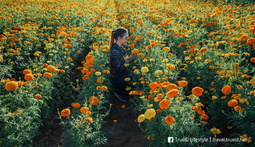ทุ่งดาวเรืองสุโขทัย ทุ่งดอกไม้ เที่ยวหน้าหนาว
