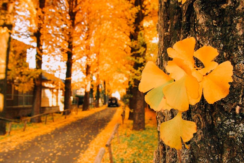 Ginko Trees, Tokyo ใบไม้เปลี่ยนสี