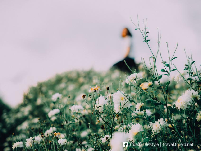 ทุ่งดอกเก๊กฮวย สะเมิง ทุ่งดอกไม้ ถ่ายรูปสวย