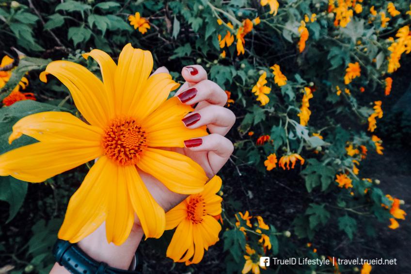 ทุ่งดอกบัวตอง ดอยแม่อูคอ ทุ่งดอกไม้ ถ่ายรูปสวย