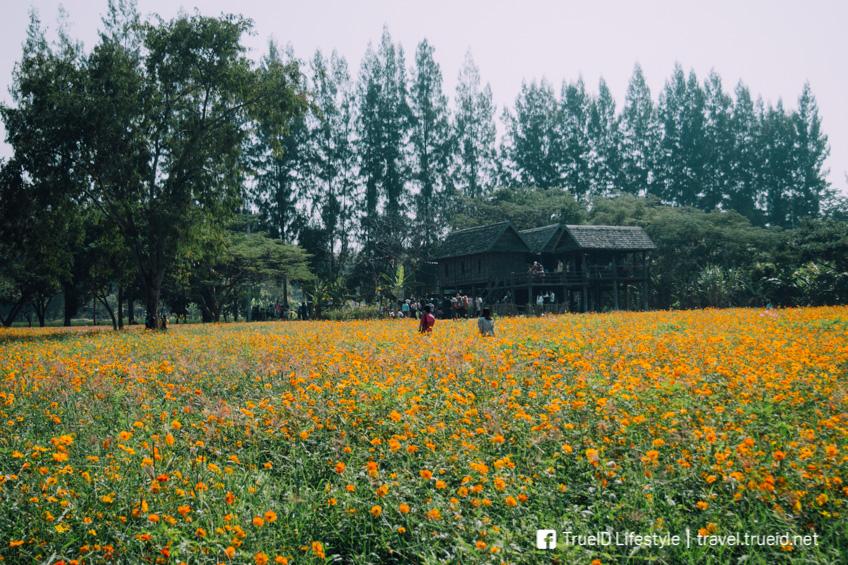 จิม ทอมป์สัน ฟาร์ม ทุ่งดอกไม้ ถ่ายรูปสวย