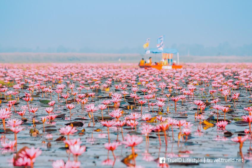 ทะเลบัวแดง ทุ่งดอกไม้ ถ่ายรูปสวย