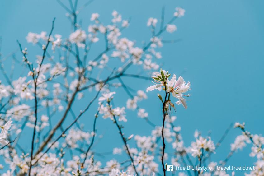 ดอกเสี้ยวป่า ลำปาง ทุ่งดอกไม้ ถ่ายรูปสวย