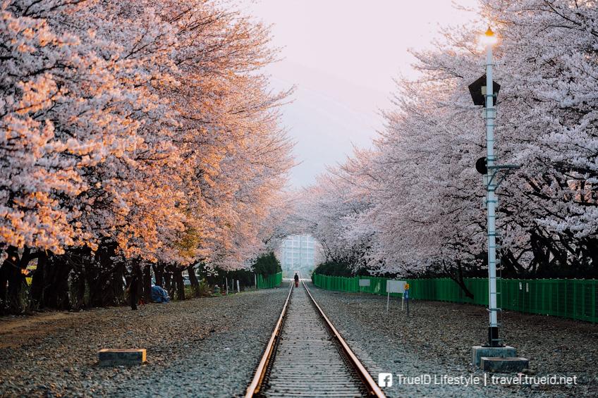 ทางรถไฟดอกซากุระคยองฮวา