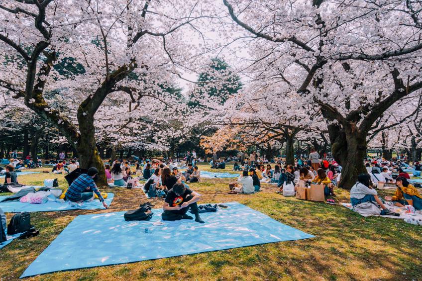 Yoyogi Park ที่ชมซากุระที่โตเกียว