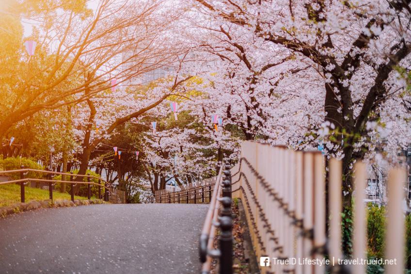 ที่ชมซากุระที่โตเกียว Asukayama Park