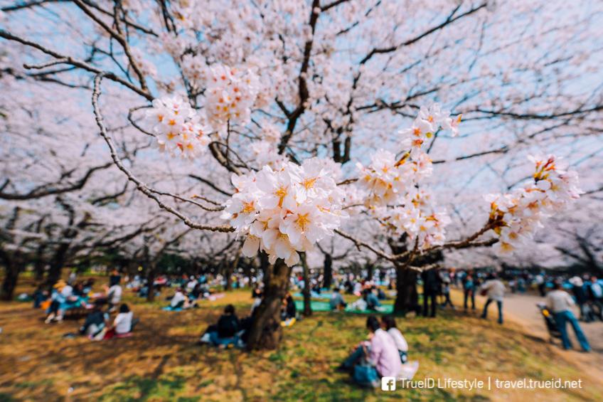 ที่ชมซากุระที่โตเกียว Yoyogi Park